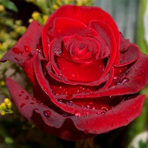 Троянда Експлорер (Explorer)