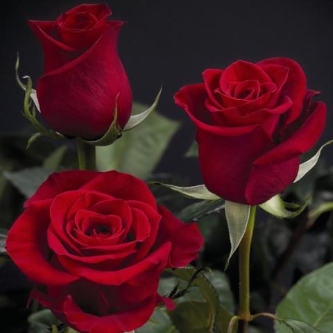 Троянда Фрідом (Freedom)