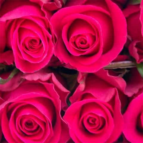 Троянда Гоша (Gosha)