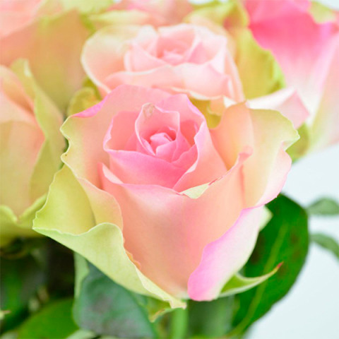 Роза Ла Белль (La Belle)