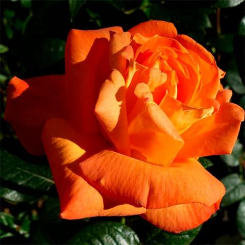 Троянда Луі Де Фюнес (Louis de Funes)