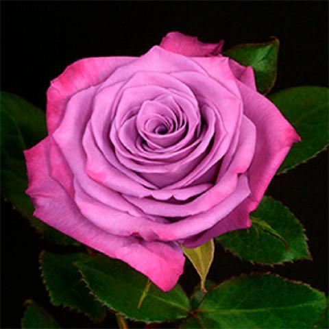 Троянда Муді Блу (Moody Blue)