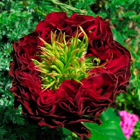 Роза Красный Глаз (Red Eye)
