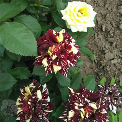 Троянда Фокус Покус (Focus Pocus)