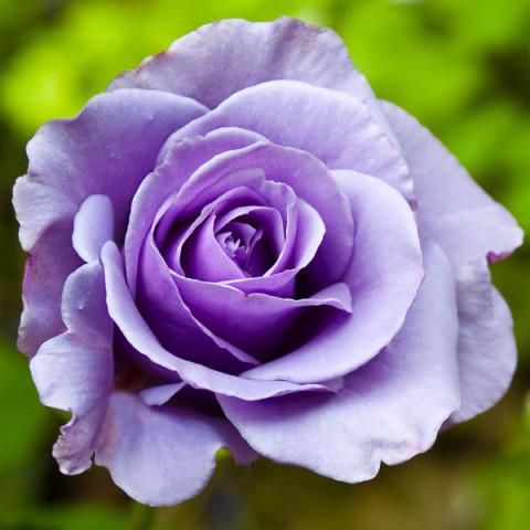 Троянда Блю Мун (Blue Moon) штамб