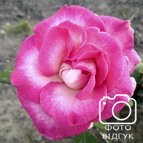 Роза Утро Парижа (Utro Parisa)