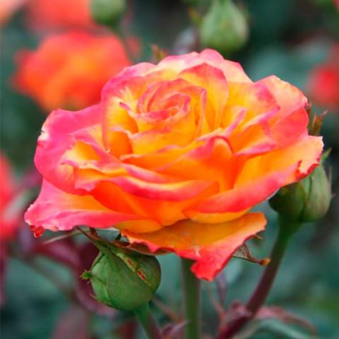 Роза Солнышко (Sun)