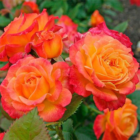 Троянда Сонечко (Sun)