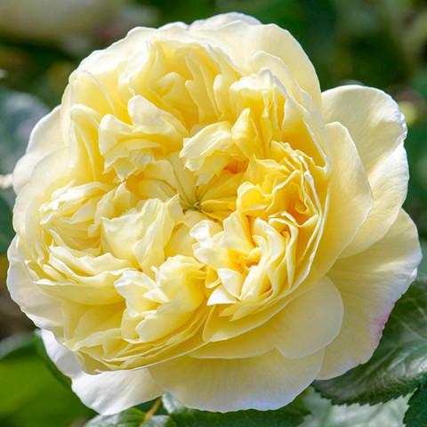 Троянда Чарльз Дарвін (Charles Darwin)