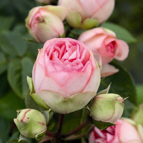 Троянда Чарминг Пиано (Charming Piano)