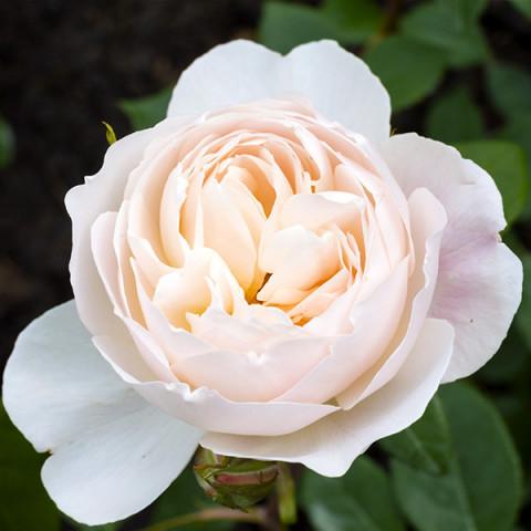Троянда Дездемона (Desdemona)