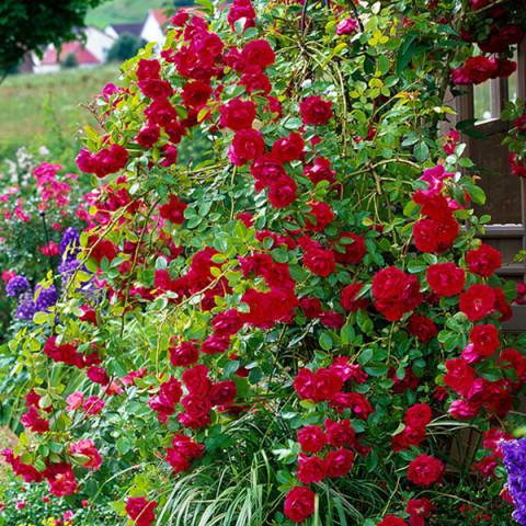 Троянда Дон Жуан (Don Juan)