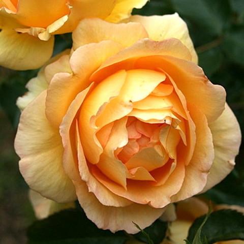 Троянда Евріка (Eureka)