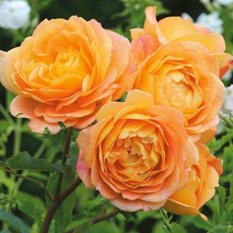 Троянда Казкарка (Fairy Tale)