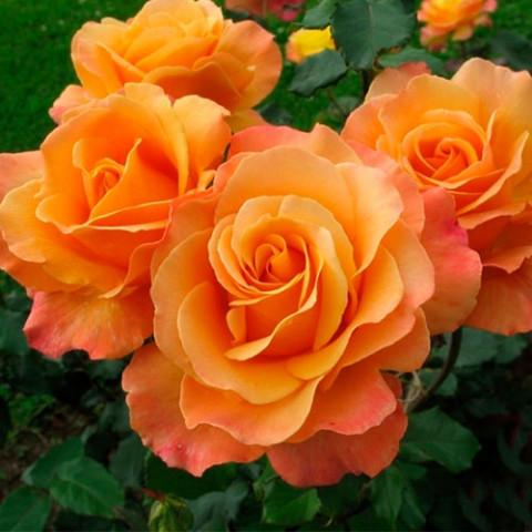 Троянда Лоліта (Lolita)