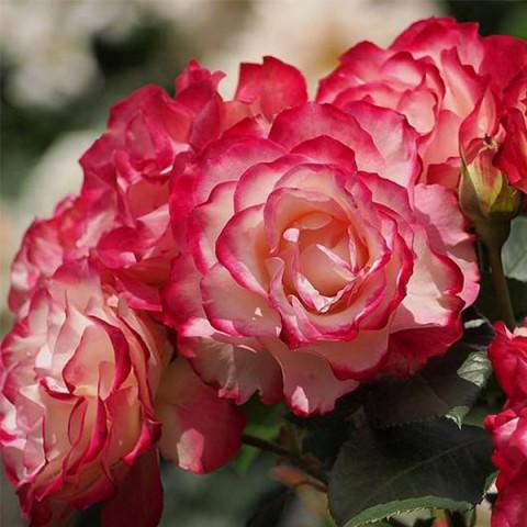 Роза Юбилей Принца Монако (Jubile du Prince de Monaco)