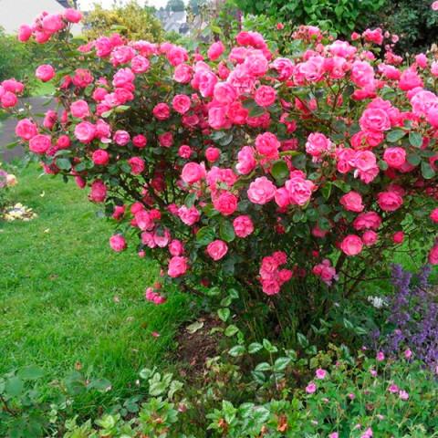 Троянда Анжела (Angela)