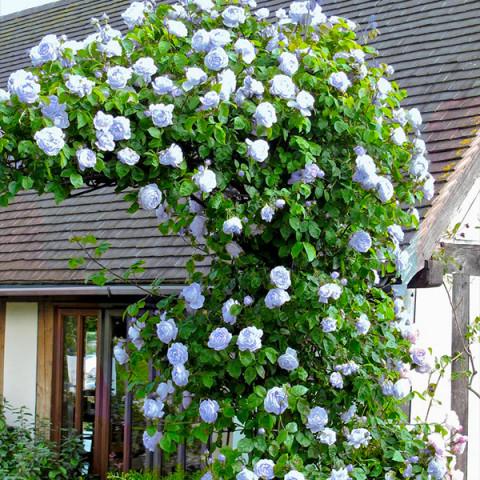 Троянда Блакитна мрія