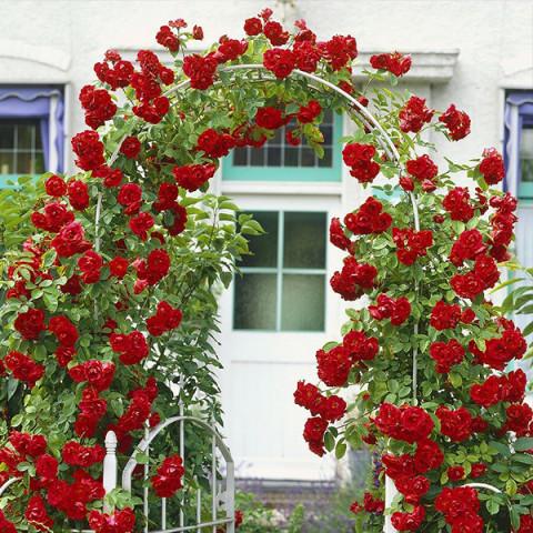 Троянда Гранд Готель (Grand Hotel)