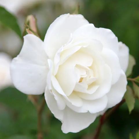 Троянда Айсберг (Iceberg)