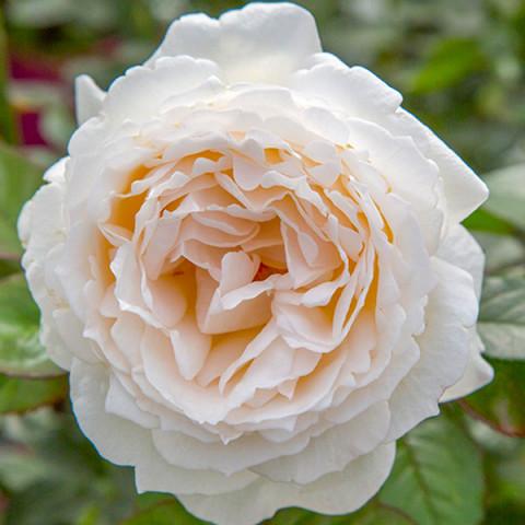 Роза Айвори Ив Пьяже (Ivory Yves Piaget)