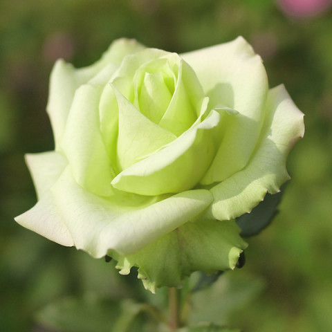 Роза Жаде (Jade)