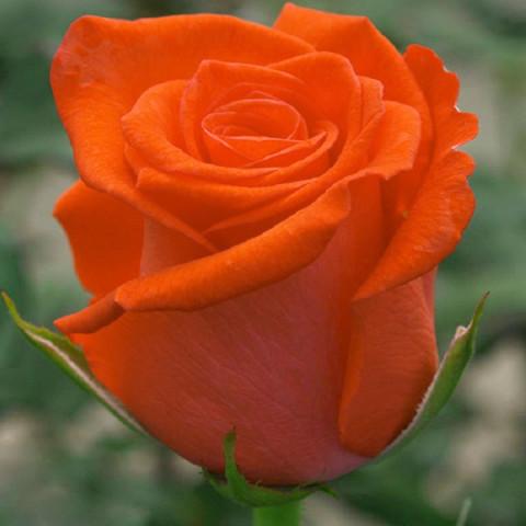 Троянда Любочка (Lyubochka)
