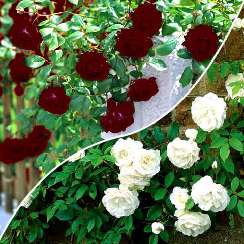 Комплект саженцев роз Ход Королев
