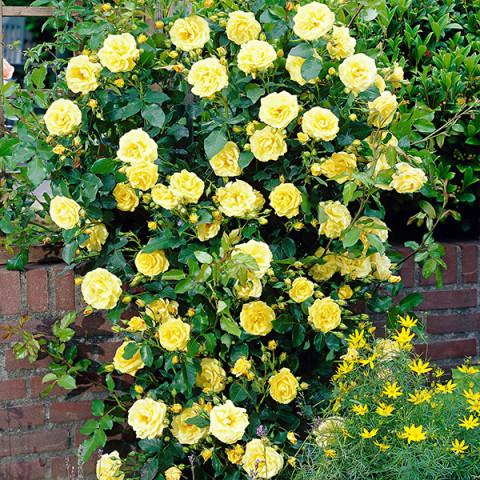 Комплект саженцев роз Слава Украине