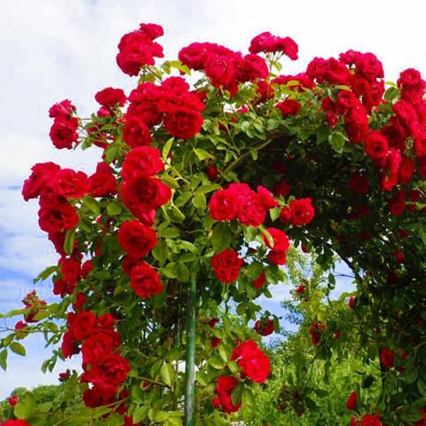 Троянда Ван Лав (One Love)