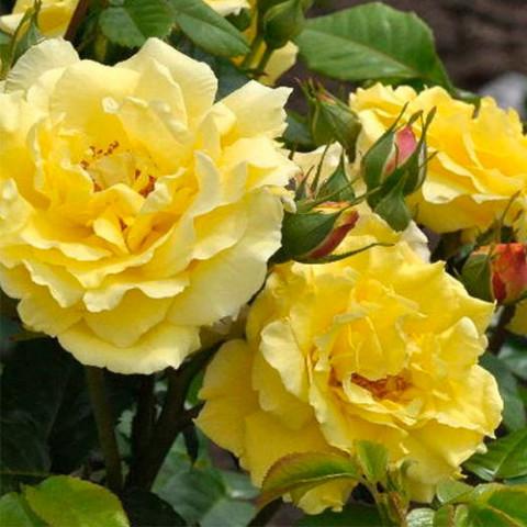 Роза Консуэлла (Konsuella)