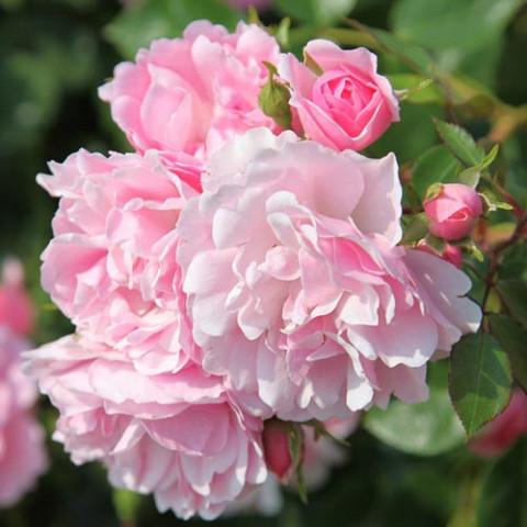 Троянда Боніка (Bonica)