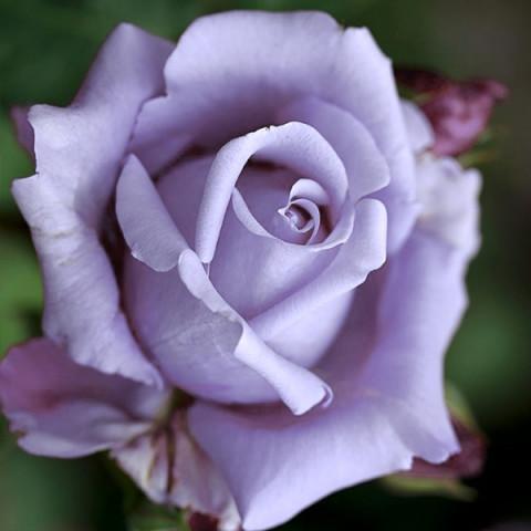 Роза Индиголетта(Indigoletta)