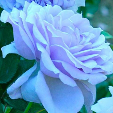 Троянда Блю Мун Витка (Blue Moon)   штамб