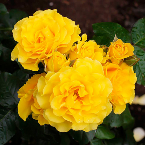 Роза Голден Шоуэрс (Golden Showers)