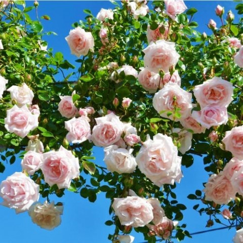 Троянда Нью Даун (New Dawn) штамб