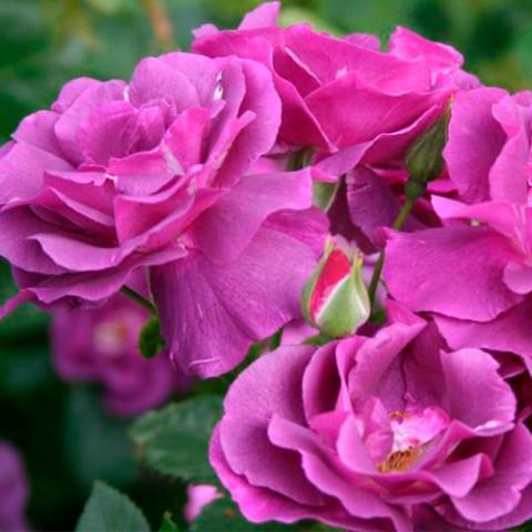 Роза Вейченблау (Veilchenblau)