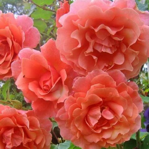 Роза Розовый жемчуг (Pink Pearls)