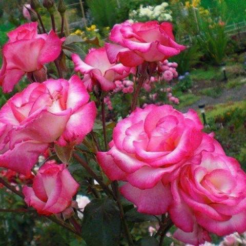 Роза Sharika-Asma