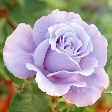 Троянда Королева краси (Queen of beauty)