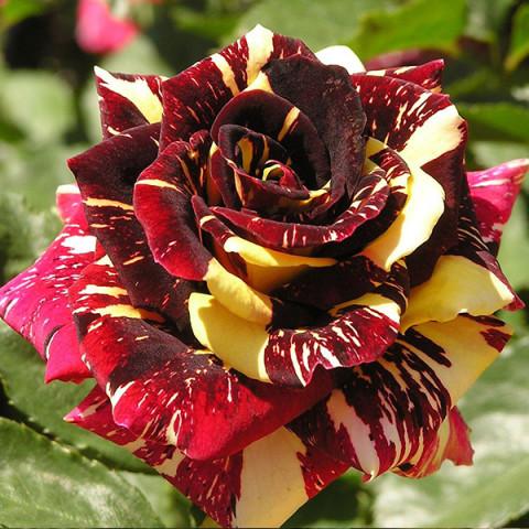 Роза Абракадабра (Аbracadabra) плетистая штамб