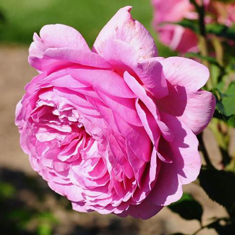 Роза Альонушка штамб