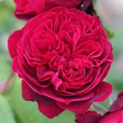 Розы шраб