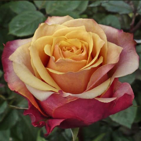 Роза Черри Бренди (Cherry Brandy) штамб