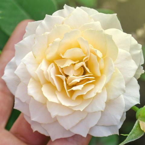 Роза Эскалибур (Excalibur) штамб