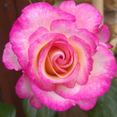 Роза Хендель (Handel) плетистая штамб