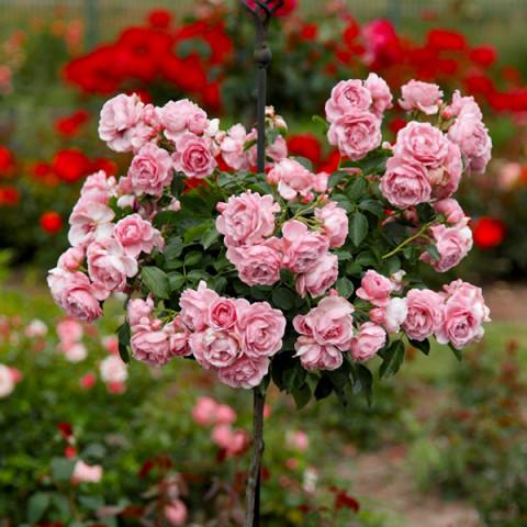 Роза Лили Марлен (Lilli Marleen) штамб