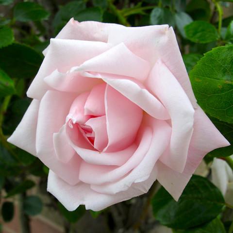 Роза Нью Даун (New Dawn) штамб