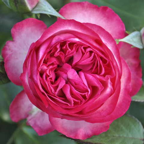 Роза Розовый Лед (Pink Ice) штамб