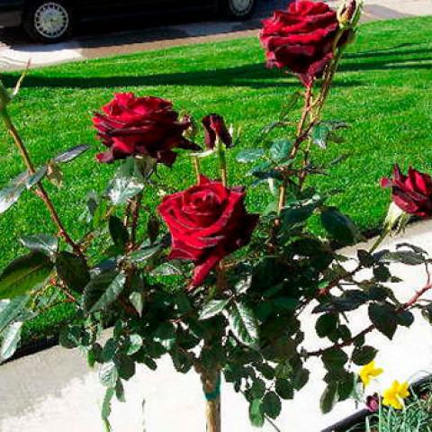 Троянда Чорна Королева (Black Queen) штамб